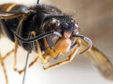 Drone vindt nest Aziatische hoornaar hoog in een boom in Veenendaal, koningin mogelijk al uitgevlogen
