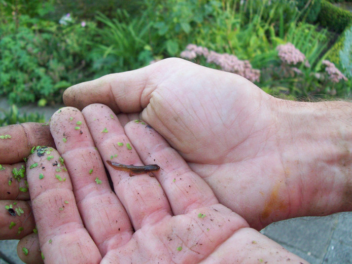 Een jonge kleine watersalamander.