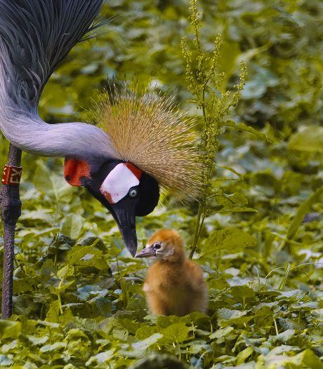 Safaripark Beekse Bergen viert geboorte bedreigde grijze kroonkraanvogel