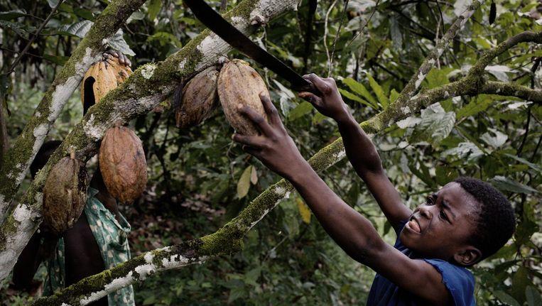 Een jongetje kapt met een machete cacaovruchten op een plantage in Ivoorkust. Beeld Daniel Rosenthal/LAIF