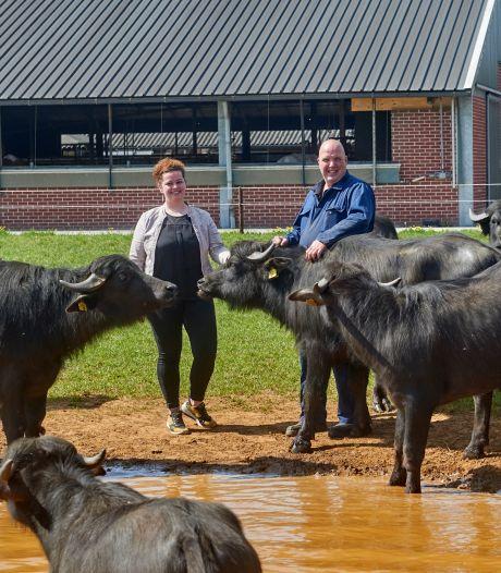Hallo waterbuffelboerderij: 'Ze lijken op koeien, gedragen zich als varkens en zijn nieuwsgierig als geiten'