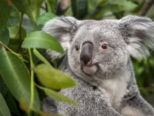 """Koala Alinga overleden in Antwerpse ZOO: """"Ze was een schoonheid met pit"""""""