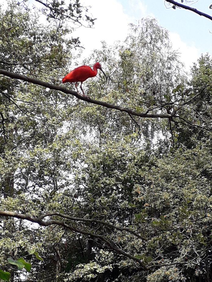 De rode ibis dook woensdag op in Nijverdal.