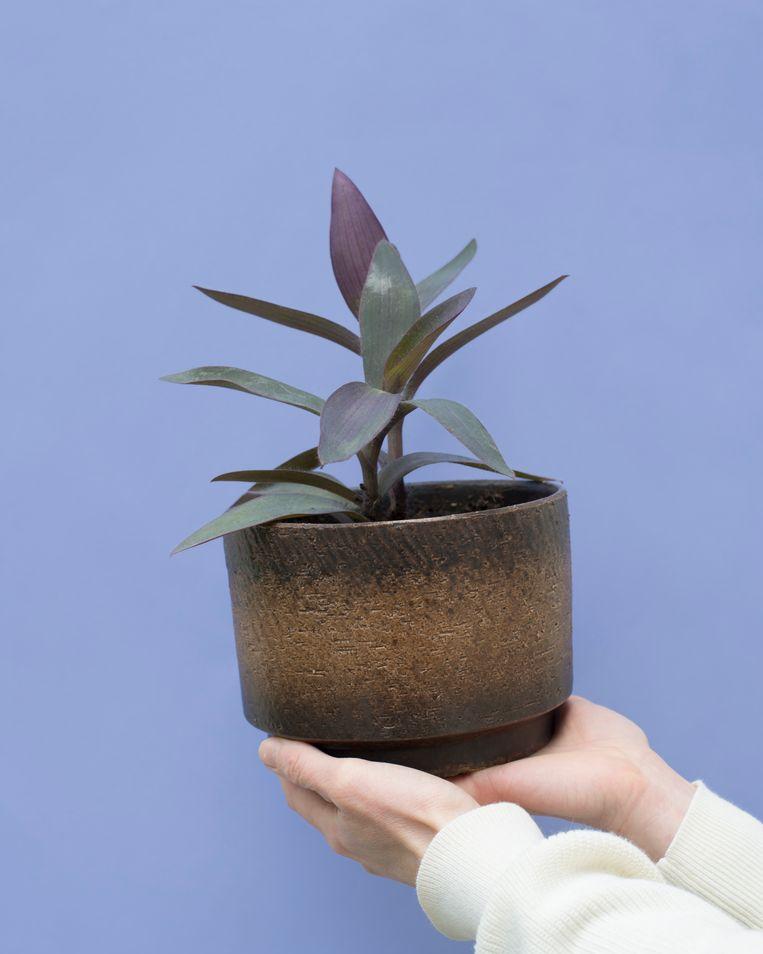 Paarse (hang)plant setcreasea (tradescantia pallida), die Gidi kocht van Astrid. Beeld Annabel Miedema