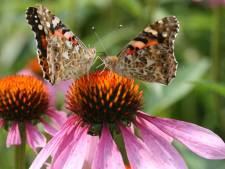 De tuinen in Twente en de Achterhoek zitten vol vlinders