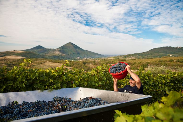 Druiven worden geoogst in Padova in het noorden van Italië. Beeld Getty Images