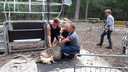 Burgemeester van Landerd Marnix Bakermans en Wim Jans houden het schaap vast. De scheerder helpt hen een handje. Rechts Joke Jans.