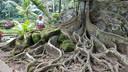 Een stokoude boom op Bali spreidt zijn wortels uit over een groot oppervlak.