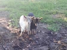 Eigenaar van in De Lutte gedumpte geitjes meldt zich bij politie