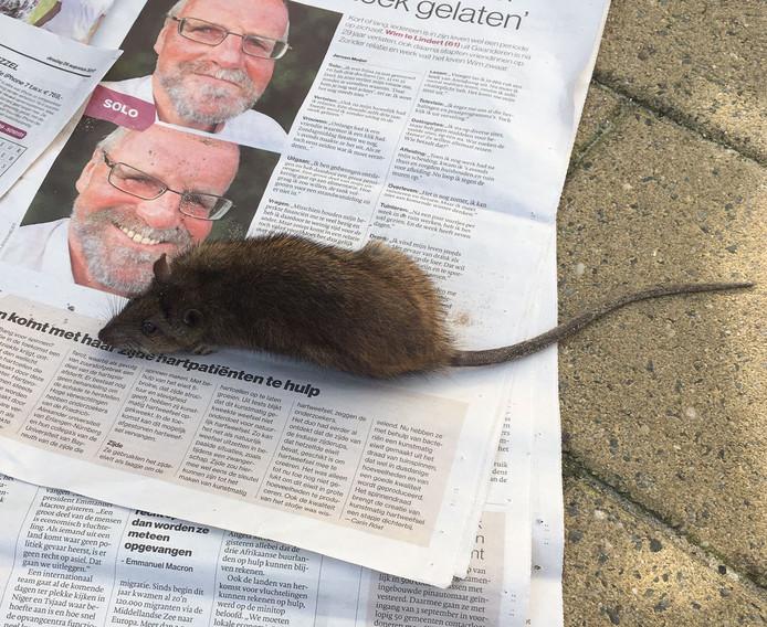 Een rat die Mariette Limburg wél ving.
