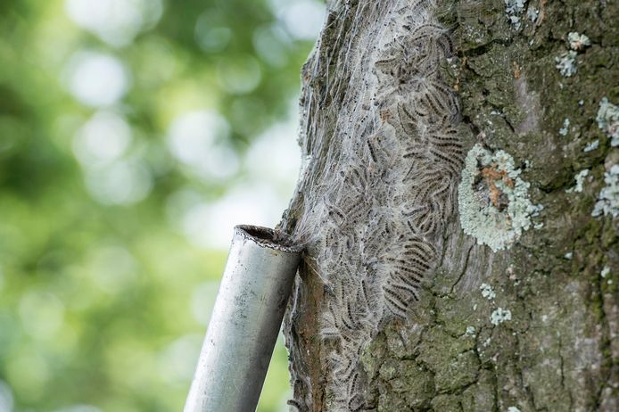 breda-foto : ron magielse de eikenprocessierups is bezig met een irriterende opmars en wordt bestreden met grote stofzuiger.