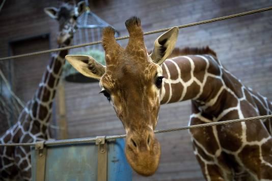 De achttien maanden oude giraf Marius voor zijn slachting.
