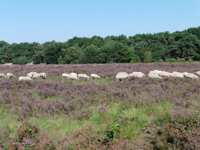 De bloeiende heide van De Maashorst, in toom gehouden door grazers