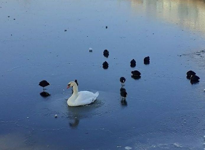 De zwaan zat geruime tijd vast in het ijs en had zelf niet de kracht om aan land te komen.