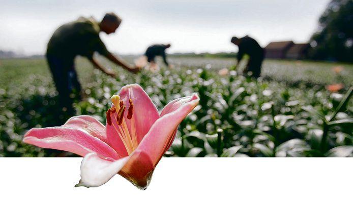 Lelieteelt in beeld. De bloemen van de lelies op het veld worden verwijderd zodat alle energie naar de bol in de grond gaat.