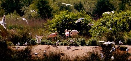Eerste flamingokuikens gespot in Zwillbrock, duimen voor een goede afloop