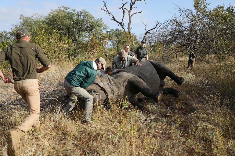 Een dierenarts heeft een neushoorn verdoofd in de buurt van Hoedspruit in de Zuid-Afrikaanse provincie Limpopo vlakbij het Kruger Natuurpark om zijn hoorn eraf te zagen