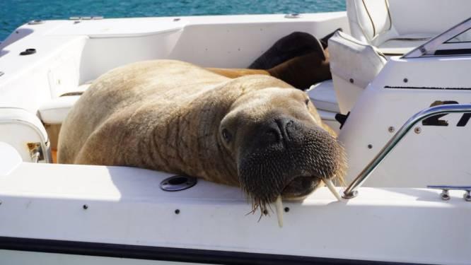 Wally 'de rondreizende walrus' nu ook gespot in IJsland na haltes in Frankrijk, Ierland en Spanje