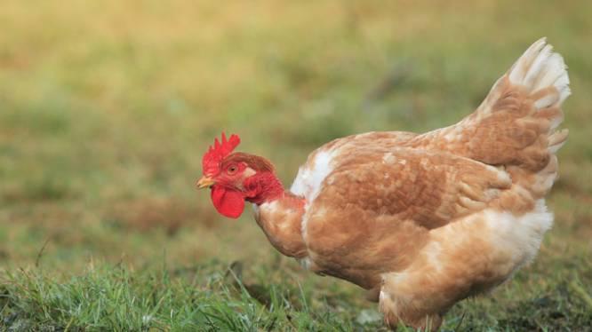 Le mystère de la disparition du pénis des poulets résolu
