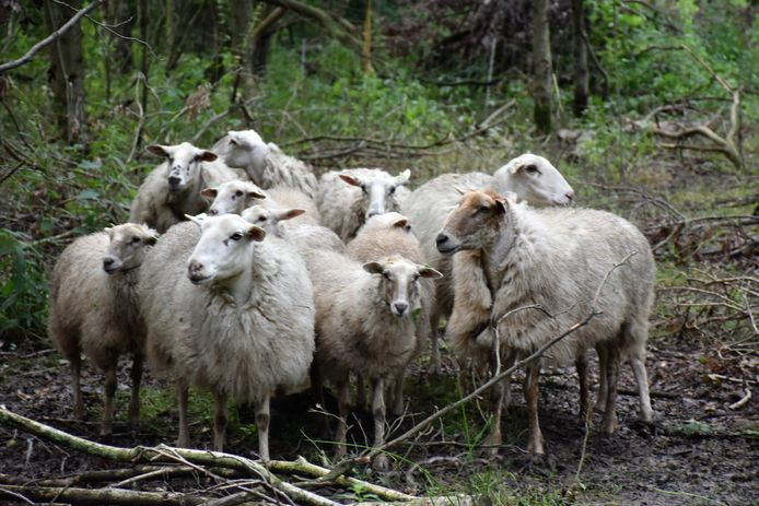 Soms worden schapen in maart al geschoren tegen de maden.