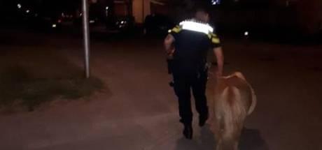 Shetlandpony dwaalt door Almelo, politie zoekt eigenaar