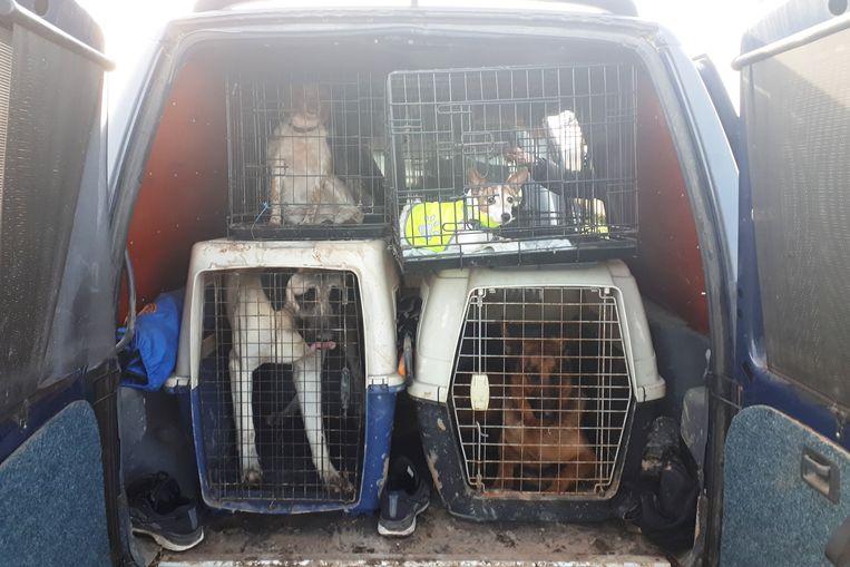Honden in de bus van Leo van der Feest. Beeld Emiel Hakkenes