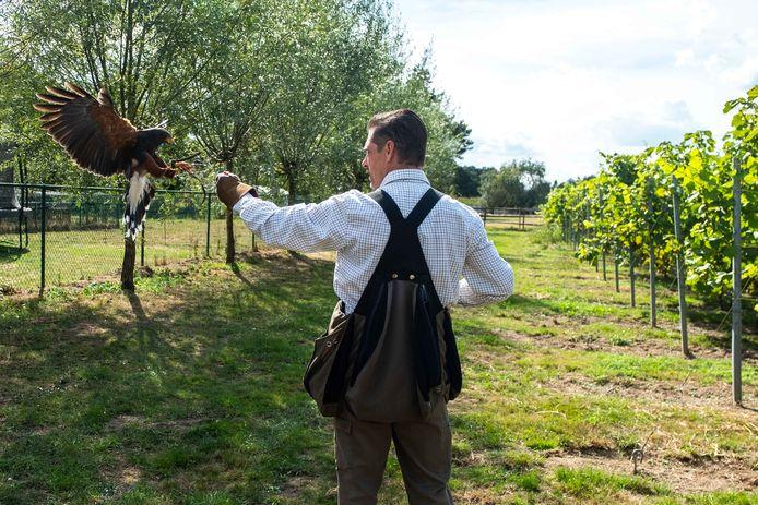 Valkenier Pim is met zijn roofvogels op duivenjacht in wijndomein Oud Conynsbergh in Boechout en Vremde. De bedoeling is om de duiven weg te jagen door de aanwezigheid van Jef de Woestijnbuizerd en enkele andere roofvogels.