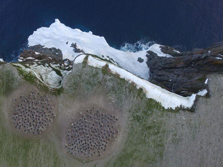 Via satelliet- en dronebeelden van de omgeving werd de kolonie geteld. Beeld AFP