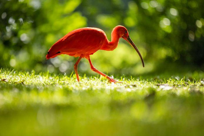 De rode ibis loopt al weken rond in het Hofpark.