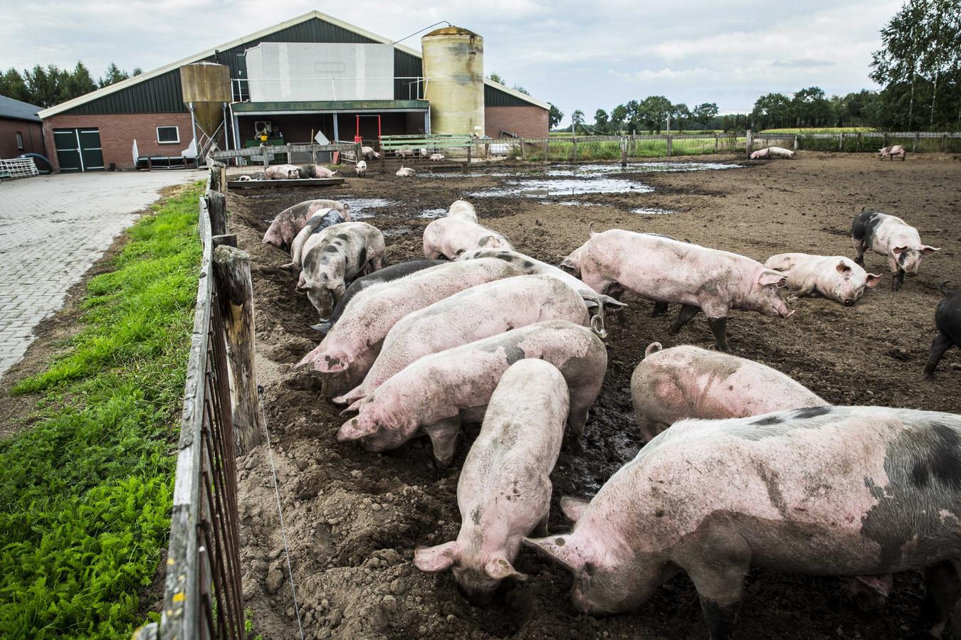 Om de stikstofuitstoot te verminderen zou de Nederlandse veestapel flink moeten inkrimpen.