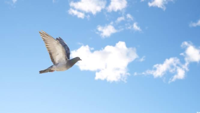 Man schiet achterbuurvrouw in nek, wilde 'alles onder schijtende' duif raken