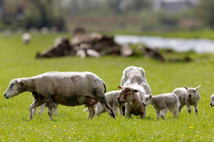 Het manke schaap in de wei, dat eet door door haar voorpoten te zakken. Volgens Bosman van de Dierenambulance is dat omdat ze het niet redt op haar achterpoten.