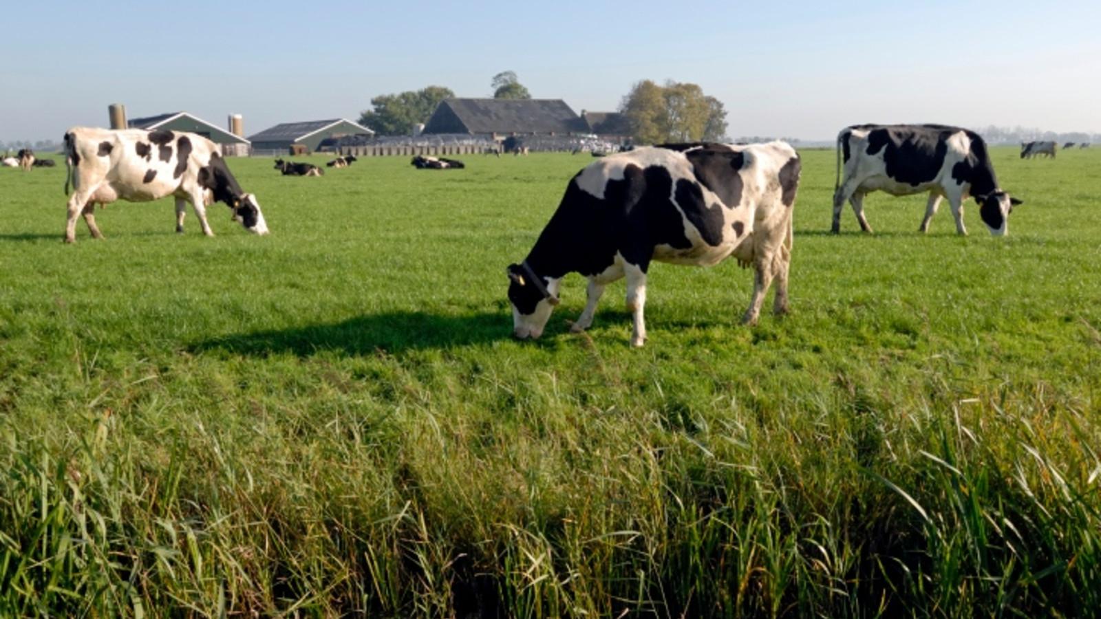 Melkveehouders hebben volgens cijfers van CBS relatief het vaakst een opvolger.