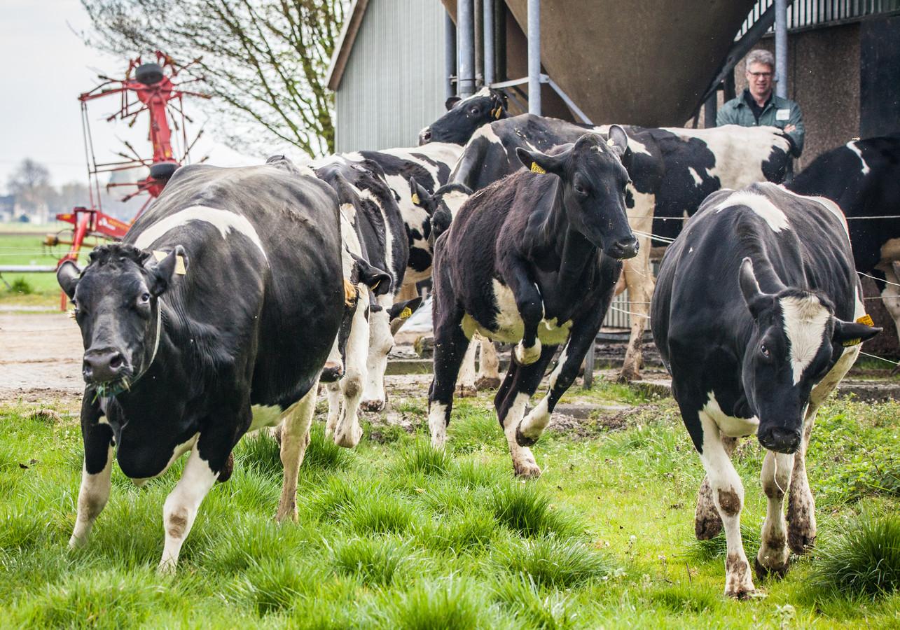 Honderd boeren zijn door het OM beboet omdat ze hebben gesjoemeld met het aantal koeien op hun bedrijf.