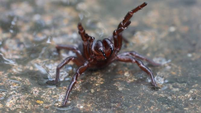 Australiërs na overstromingen gewaarschuwd voor dodelijke spinnen