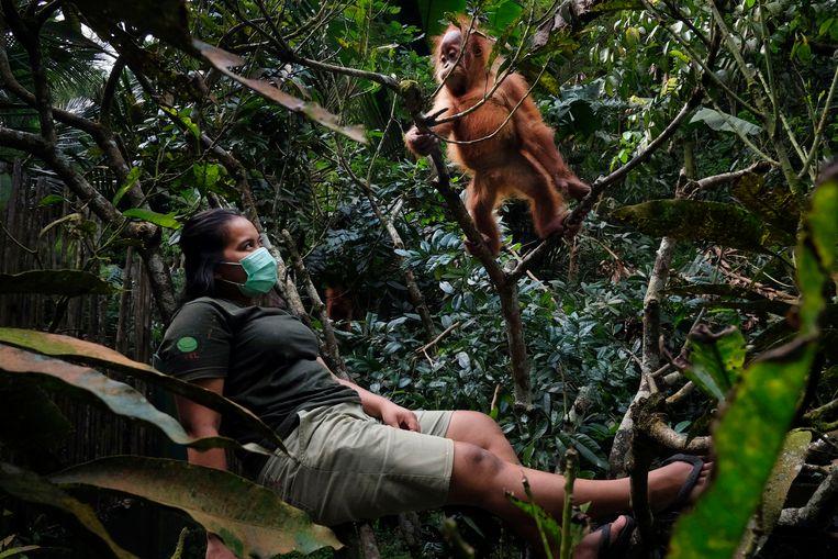 Jonge orang-oetans leren werkelijk alles van hun ouders. Als die dood zijn, moet een vervangmoeder als Selvi de 'opvoeding' overnemen. Pas als ze 7 of 8 jaar oud zijn, kunnen de apen zelfstandig overleven in het wild. Beeld © Alain Schroeder