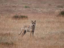 Dode wolf Veluwe kwam om het leven door kogel