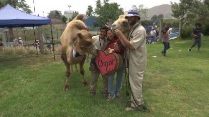 Met bruidstaart en bijhorende outfit: kamelen trouwen in zoo van Lima