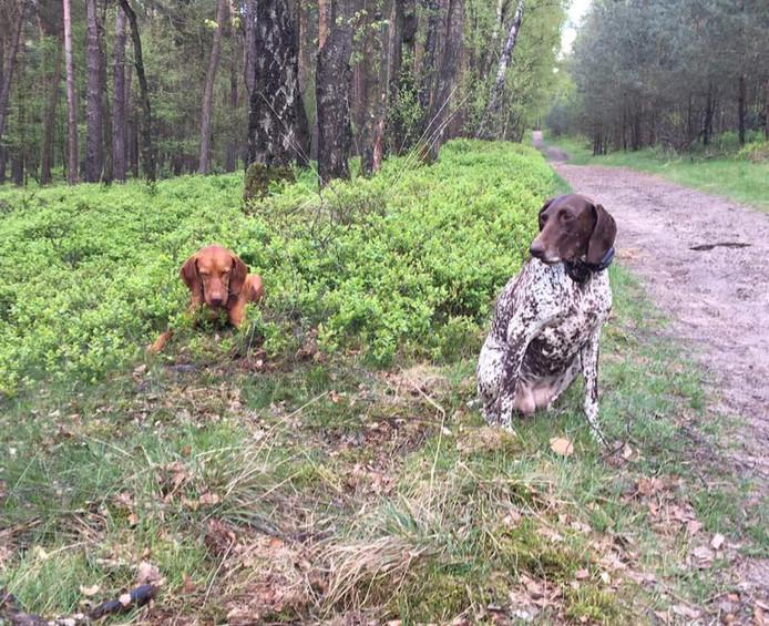 De 47-jarige Diana Abramsz uit Hellevoetsluis raakte gisteren haar honden Ramses (links) en Sheila kwijt tijdens een wandeling in Oostvoorne.
