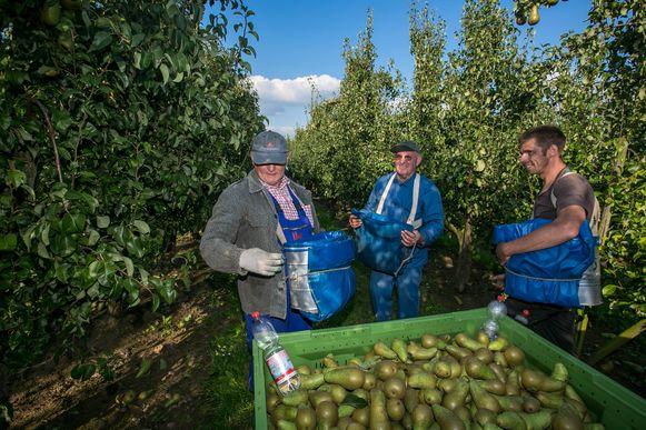 Een archiefbeeld van fruitplukkers in Limburg.