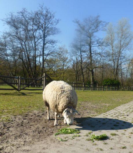 Opstandige ram Jayjay liep als vondeling door Zoetermeer en zet nu de hele wei op stelten