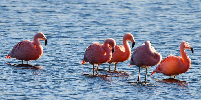 De flamingo's zijn terug in het Zwillbrocker Venn, op de grens met de Achterhoek.