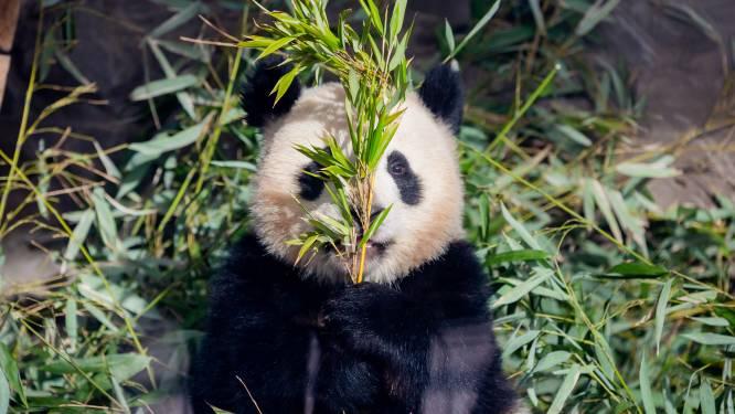 Reuzenpanda's zien er schattig en knuffelbaar uit: zo agressief zijn ze in werkelijkheid