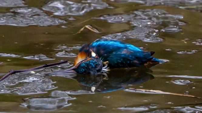 """IJsvogel levenloos aangetroffen aan kanaal Dessel-Schoten: """"Dooi kwam te laat voor dit prachtig vogeltje"""""""