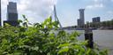 Wow! Een stukje skyline van Rotterdam, met onder andere de Erasmusbrug en de Zalmhaventoren in aanbouw. En de flink opschietende duizendknoop als ware het een takje hulst op de voorgrond.
