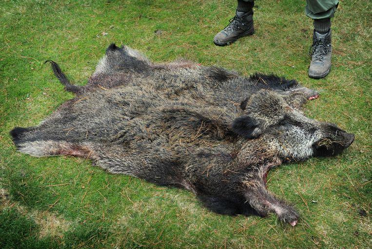 Een geschoten wildzwijn. Beeld Marcel van den Bergh / de Volkskrant