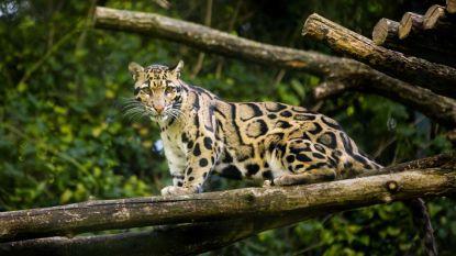 Deze mysterieuze katachtige werd uitgestorven verklaard, maar boswachters zouden hem opnieuw gespot hebben