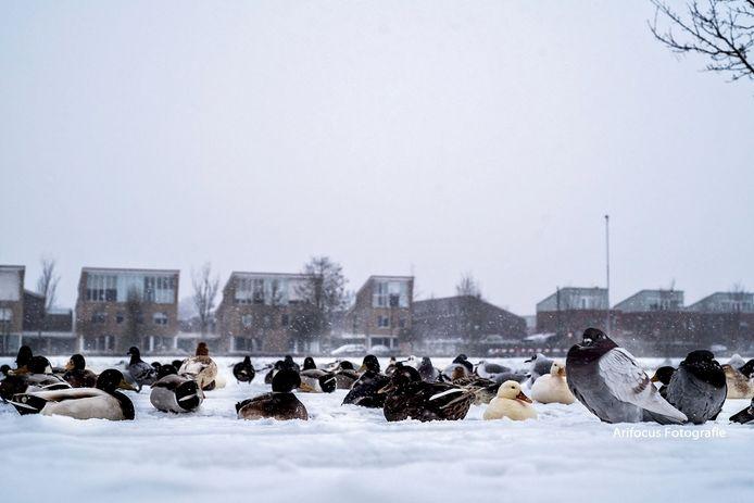 Eendjes en duiven  in de sneeuw in de wijk Westeraam in Elst.