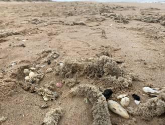 Het harig mosdiertje maakt opmars op Belgische stranden