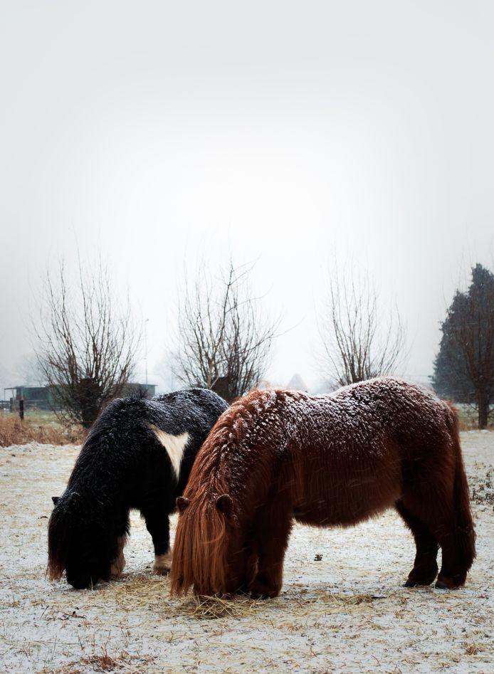 Deze paardjes in Etten smikkelen lekker, ondanks de sneeuw.